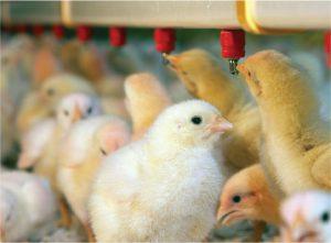 فروشگاه اینترنتی آبخوری نیپل مرغداری معتبر در ایران